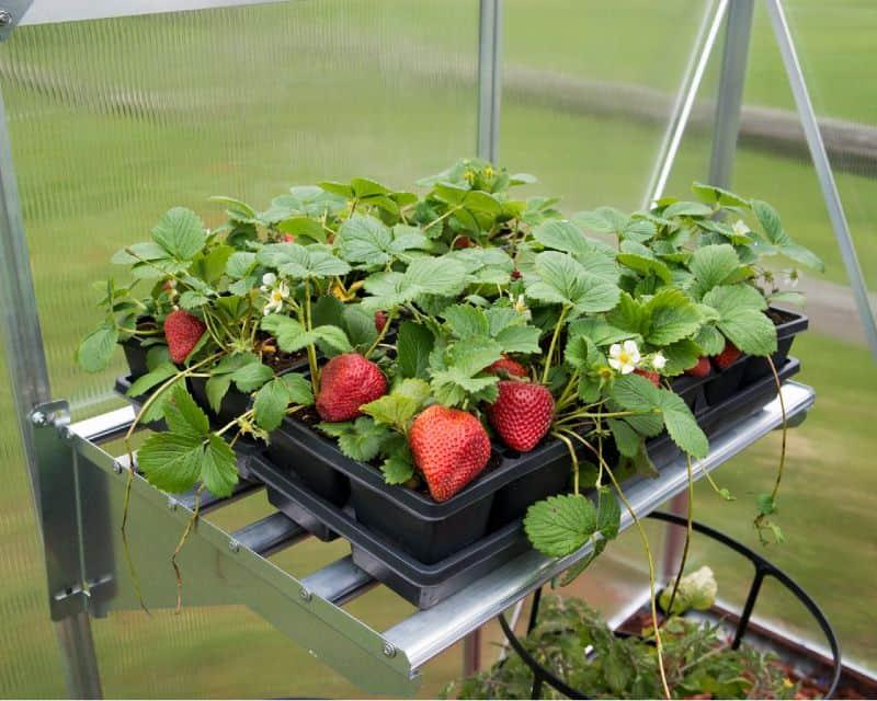 מדף אלומיניום עם תותים
