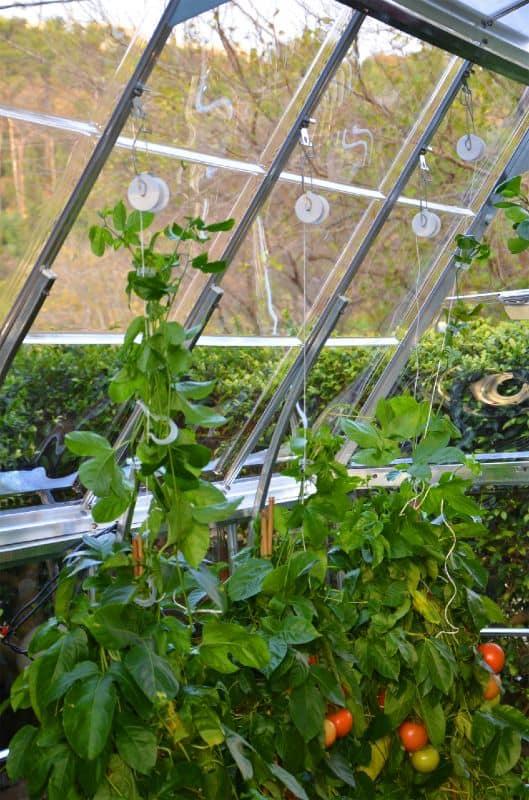 קיט להדליית עגבניות בחממה ביתית