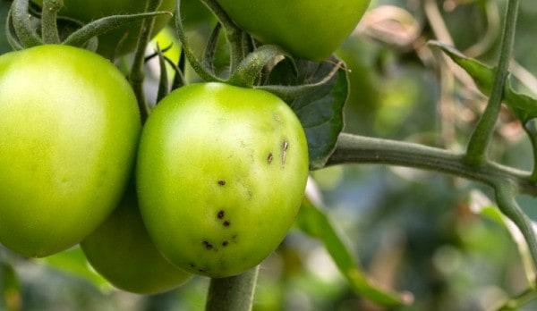 טוטה אבסולוטה בתוך עגבנייה
