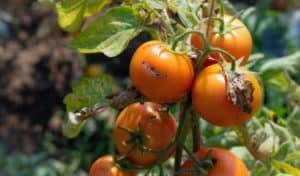 מזיקים בעגבניות