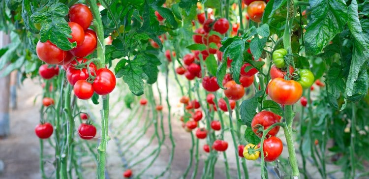 גידול עגבניות בהדלייה
