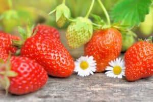 גידול תותים