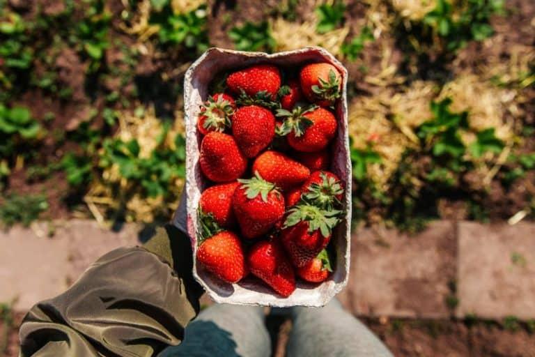 תותים טעימים