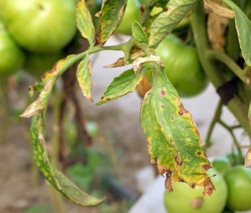 פוזוריום בעגבניה