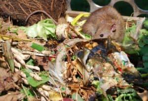 עכברים וחולדות בקומפוסטר ביתי